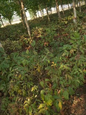 河北省邢台市宁晋县油用牡丹种苗 2~4cm 4cm以下 0.5~1米