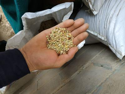 甘肃省兰州市永登县小扁豆 1cm以上 10cm以下