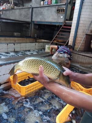 四川省乐山市市中区池塘鲤鱼 人工养殖 0.5-2.5公斤