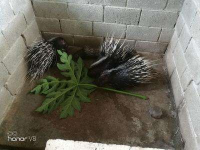 广西壮族自治区崇左市扶绥县中华豪猪 20-30斤