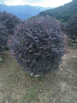 福建省漳州市南靖县黑珍珠红继木