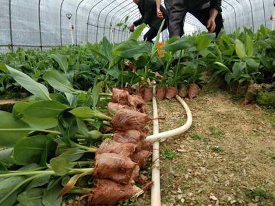 广西壮族自治区钦州市灵山县皇帝蕉 九成熟 10.0斤