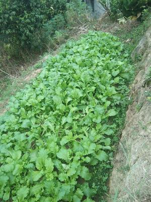 广西壮族自治区钦州市钦北区白萝卜叶 15~20cm