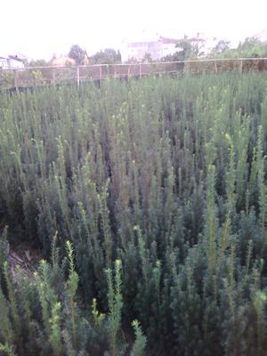 陕西省汉中市西乡县曼地亚红豆杉 0.5~1米