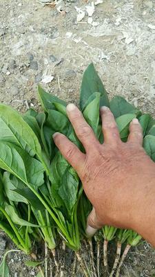 山东省潍坊市坊子区圆叶菠菜 15~20cm