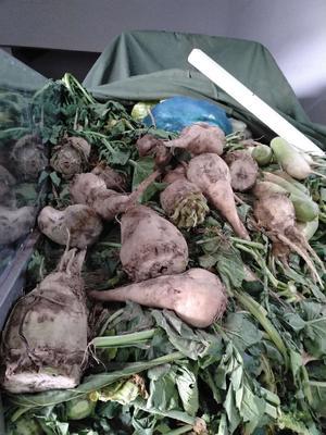 甘肃省兰州市安宁区红甜菜 15cm以上