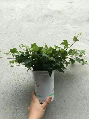 广东省广州市荔湾区常春藤 30cm以下