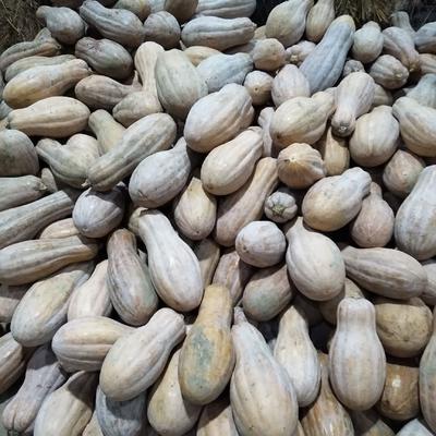 重庆黔江区黄金二号红南瓜 4~6斤 长条形