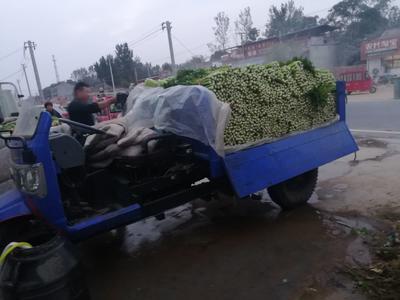河南省安阳市滑县西芹 55~60cm 露天种植 0.5斤以下