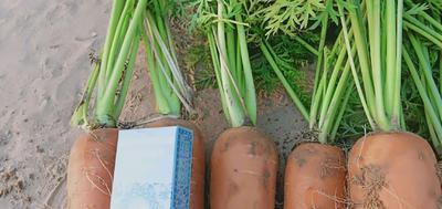 山东省青岛市市北区三红胡萝卜 10~15cm 2两以上 3~4cm