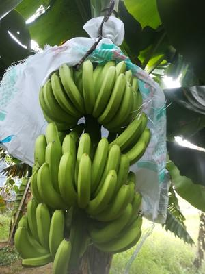 广西壮族自治区玉林市陆川县广东香蕉1号 八成熟 40 - 50斤