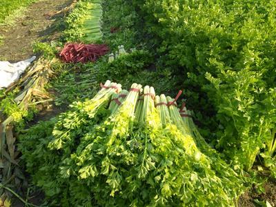 山东省潍坊市寿光市黄金芹菜 60cm以上 露天种植 0.5斤以下