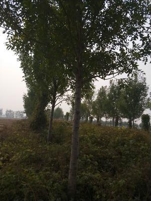 河北省邢台市宁晋县速生白蜡 5米以上