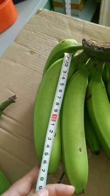 广西壮族自治区南宁市江南区威廉斯香蕉 七成熟 40斤以下