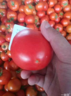 云南省红河哈尼族彝族自治州弥勒市石头番茄 不打冷 大红 通货