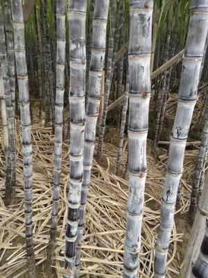广东省广州市南沙区黑皮甘蔗 2.5 - 3m 4 - 5cm