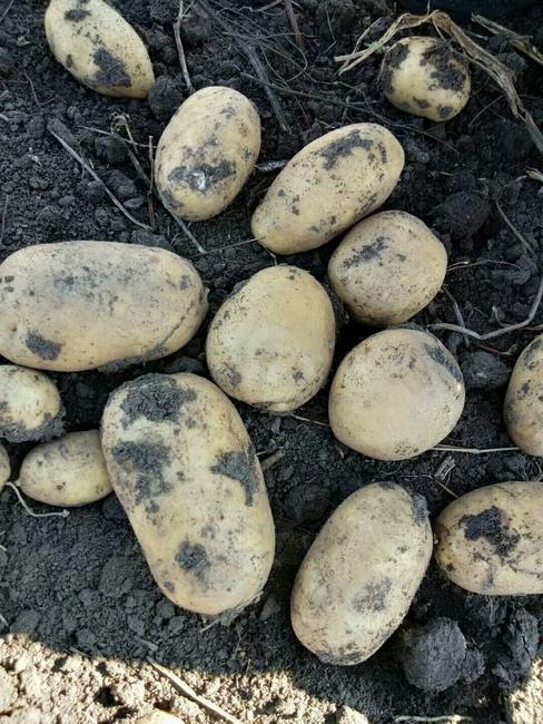 尤金885土豆 2两以上