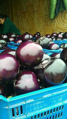 河北省衡水市饶阳县紫光圆茄 5两以上