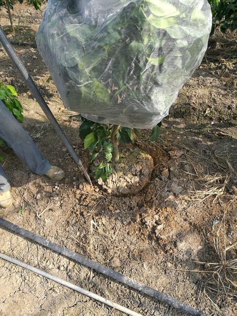 甘平柑橘苗 挂果树 1.5~2米