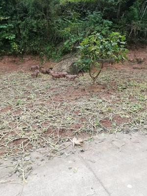 四川省南充市南部县特种野猪 30-40斤 统货