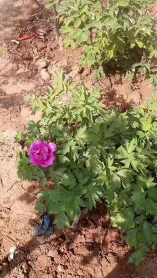 山东省临沂市平邑县观赏牡丹 2cm以下 4cm以下 0.5米以下