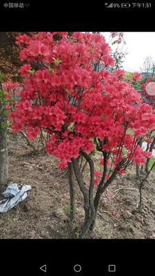 广东省珠海市香洲区映山红 1.5~2.0米