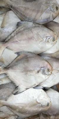 山东省潍坊市寿光市银鲳鱼 野生 0.5公斤以下