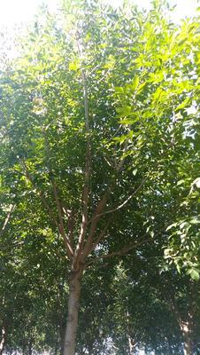 河北省沧州市泊头市速生白蜡 5米以上