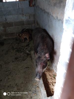 广西壮族自治区贵港市覃塘区特种野猪 160-200斤 统货