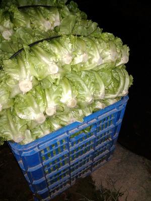 广东省广州市白云区金品1夏青梗菜 1~2两