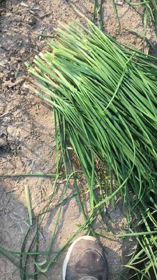 河南省周口市西华县大叶韭菜 头茬 40~45cm