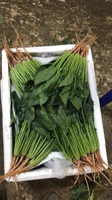 云南省大叶菠菜 20~25cm