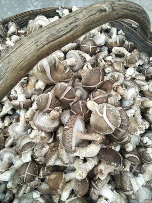 陕西省商洛市商南县普通干香菇 散装 1年以上