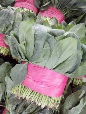 山东省泰安市新泰市大叶菠菜 25~30cm