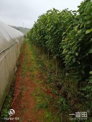 玛瑙红樱桃树苗