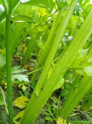 山东省滨州市惠民县法国皇后芹菜 60cm以上 露天种植 0.5~1.0斤