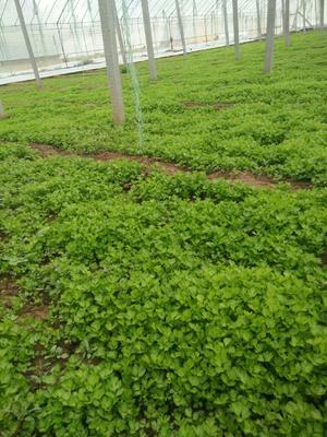 山东省滨州市惠民县法国皇后芹菜 40cm以下 大棚种植 0.5斤以下