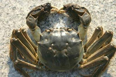 云南省德宏傣族景颇族自治州瑞丽市山螃蟹 3.5-4.0两 统货