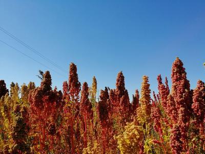 内蒙古自治区呼和浩特市新城区三色藜麦