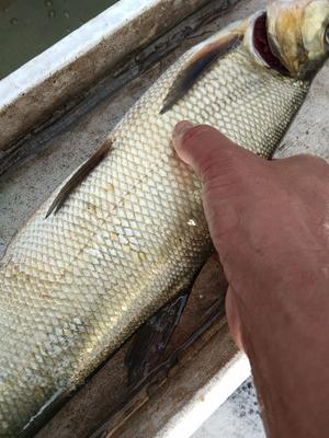浙江省湖州市南浔区加州鲈鱼 人工养殖 1-1.5公斤