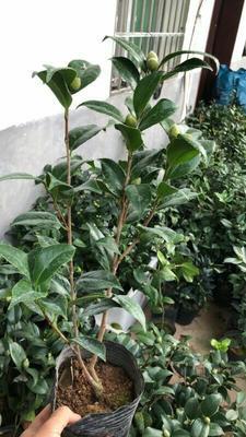 云南省昆明市呈贡区茶花树 30~50cm