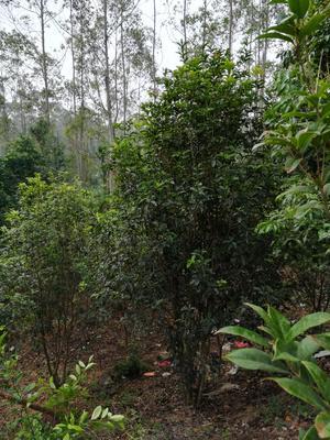 广西壮族自治区玉林市陆川县茶花树 140cm以上