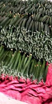 山东省临沂市兰陵县油亮密刺黄瓜 22~25cm 鲜花带刺