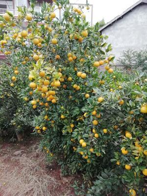 四川省资阳市雁江区柑橘种子