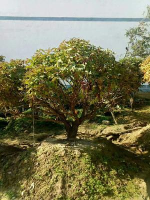 甘肃省定西市临洮县紫斑牡丹 20cm以上 20cm以上 2.5~3米
