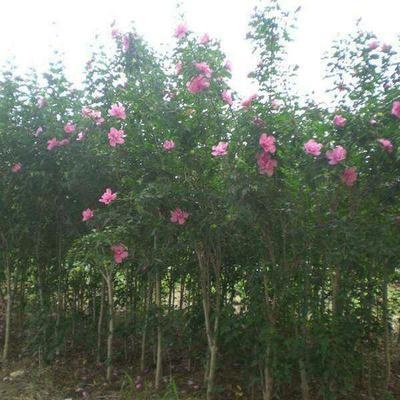 安徽省亳州市谯城区红花木槿树