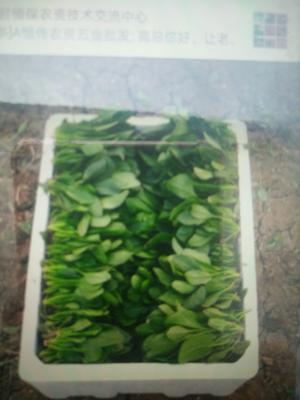 山东省泰安市岱岳区小叶菠菜 15~20cm