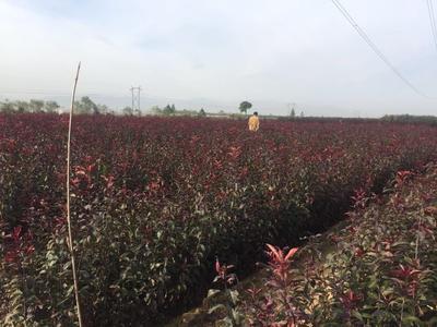 陕西省西安市周至县紫叶矮樱