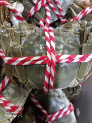 这是一张关于生态大闸蟹 2.0两以下 母蟹的产品图片