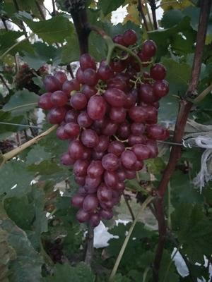 山东省青岛市莱西市克瑞森无核葡萄 5%以下 1次果 1.5- 2斤